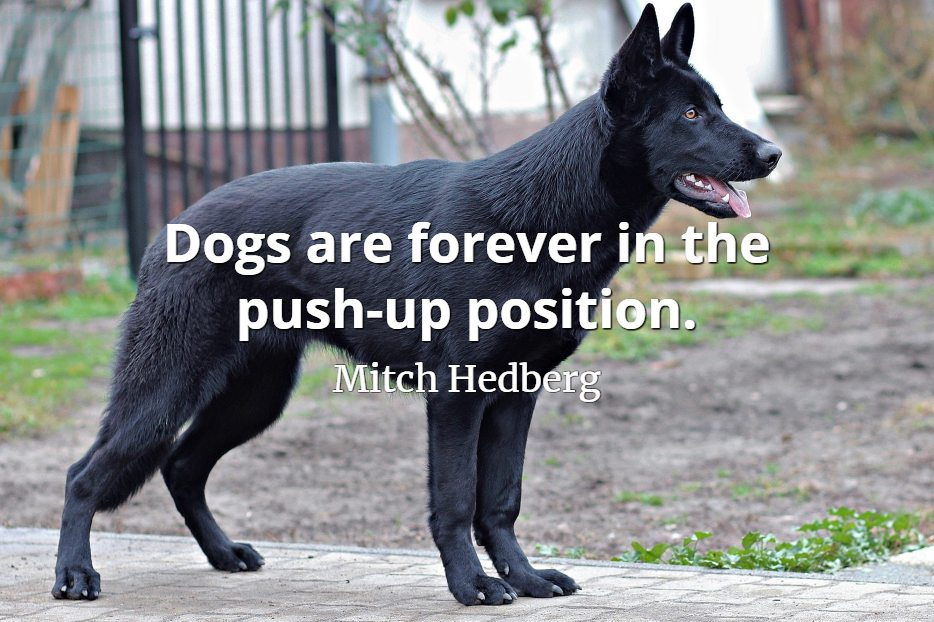 Mitch Hedberg quote Dogs are forever in the push-up position